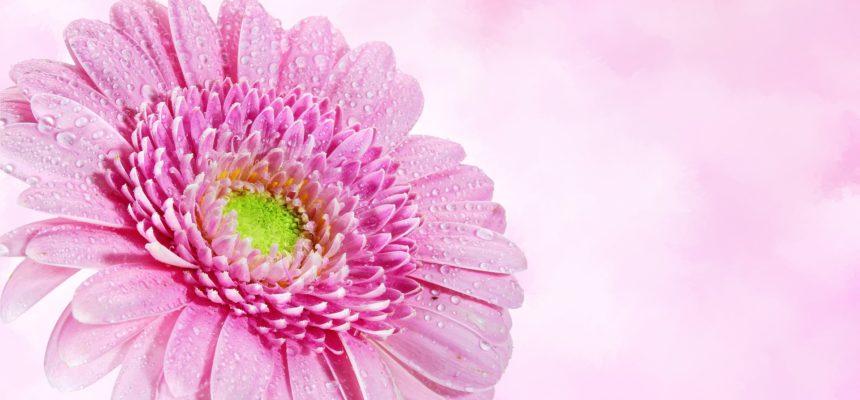 Vente annuelle de chrysanthèmes